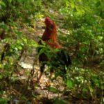 マレーシアの田舎にはニワトリがたくさん放し飼いされている