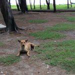 のんびりしているマレーシアの犬たち